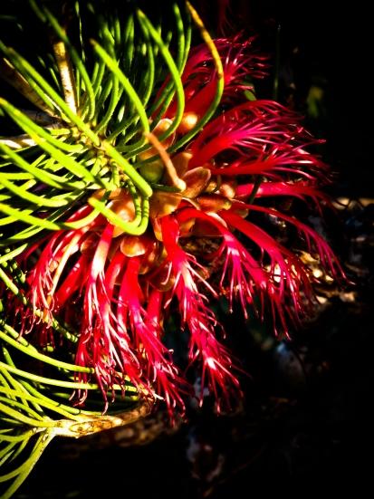 Silky Leaved Bloodflower