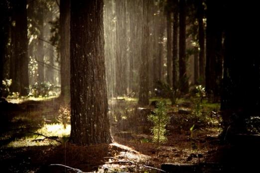 Sunshower in the Margaret River pines.