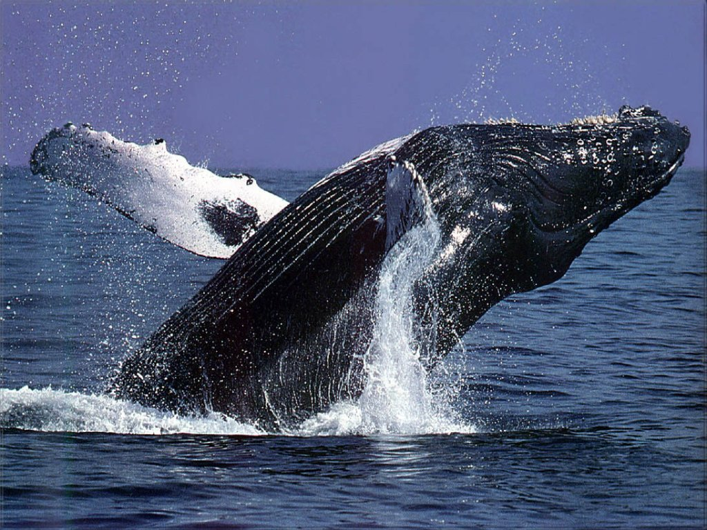 Humpback Whales | Margaret River Wine & Discovery Tours ...