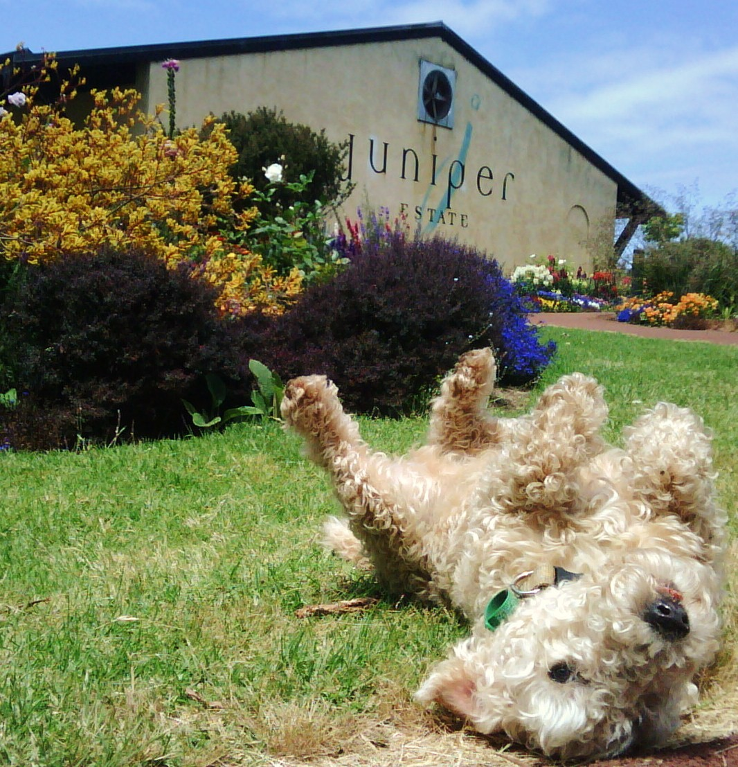 Robie the Juniper Estate Wine Dog