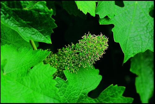 vineyard-flowering
