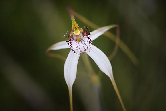 Margaret River Spider Orchid