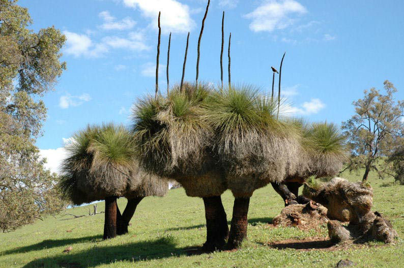 A stand of Grass Trees approximately 200-300 years old.