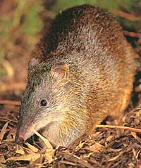 Southern Brown Nose Bandicoot or Quenda