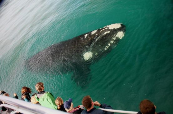 Sourthern Right Whale in Augusta / Margaret River