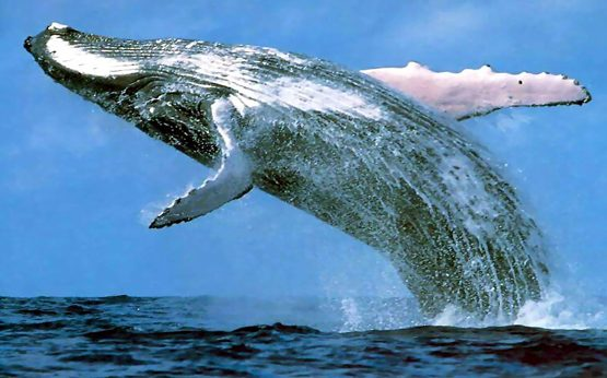 Migrating Humpback whales head north