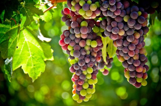 Veraison in Margaret River!