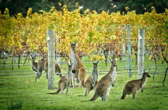 Out in the Margaret River vineyard - Winter 2014