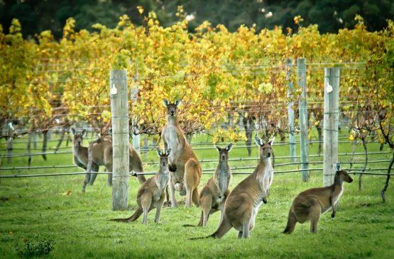kangaroos in the Cape Mentelle vineyards - Margaret River