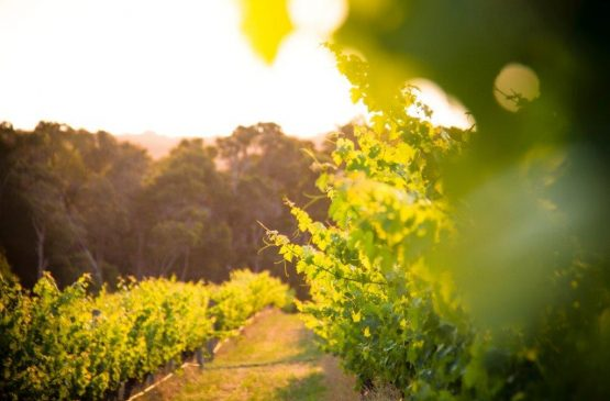 Out in the Margaret River Vineyard Spring 2014