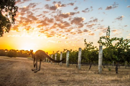 Kangaroo in the Cape Mentelle vineyards - Margaret River