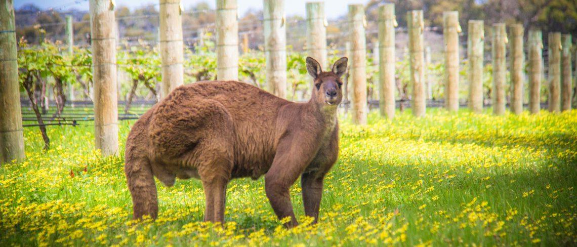 Kangaroo in the Cape Mentelle Vineyards