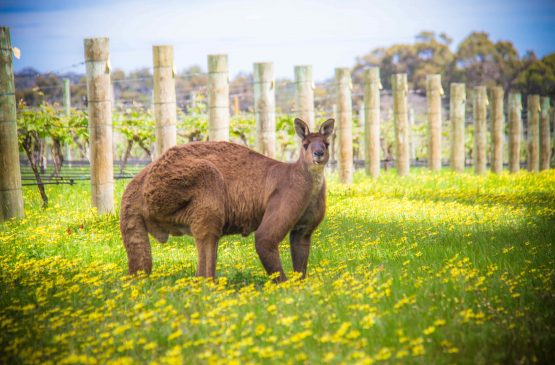 Kangaroo in the Cape Mentelle Vineyards