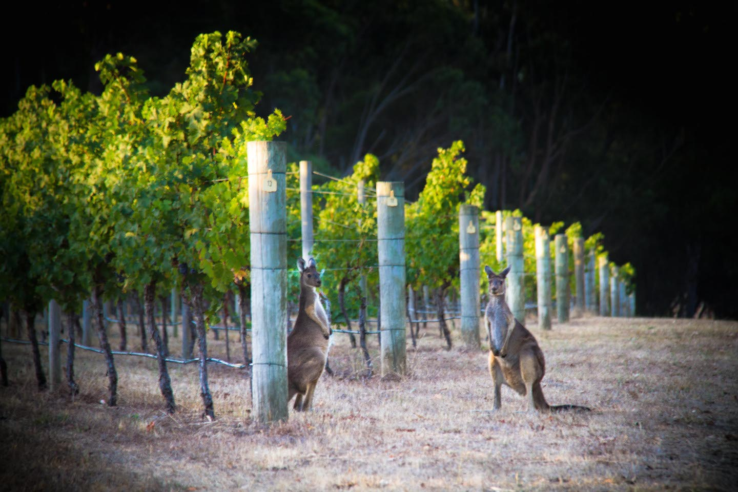 Kangaroos in the Cape Mentellle vineyard on Margaret River Best of the Best Wine Tour