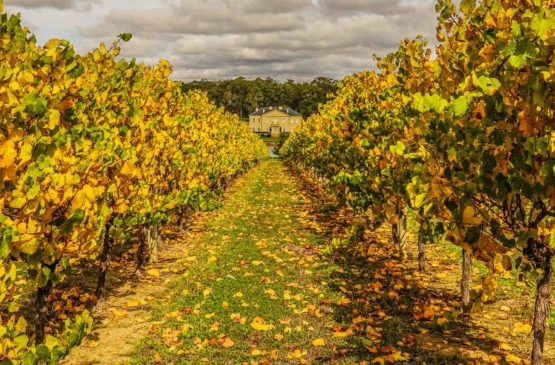 Out in the Margaret River Vineyards harvest 2017